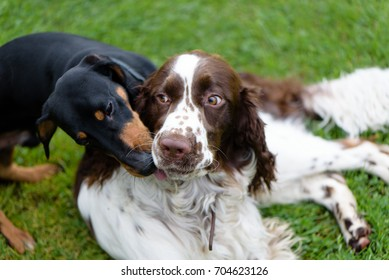 Two funny pets breed english springer spaniel and dachshund  dogs playing together in summer on green grass. One dog obsessively licks the mouth and muzzle of another dog that looks suspiciously