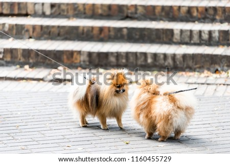 Two Funny Pomeranian Dog Breeds On Stock Photo Edit Now 1160455729
