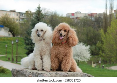Two funny poodle white and brown
