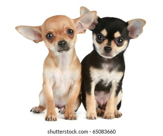 Two funny puppies chihuahua (2 months) sit on a white background