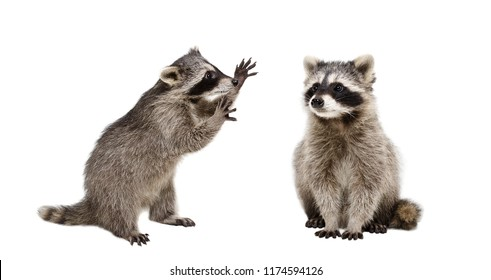 Two funny raccoons, isolated on white background