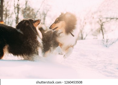Two Funny Tricolor Rough Collie, Scottish Collie, English Collie, Lassie Dogs Running Together Outdoor In Snowy Park At Winter Day. Active Dogs Play In Snow. Playful Pet Outdoors At Winter