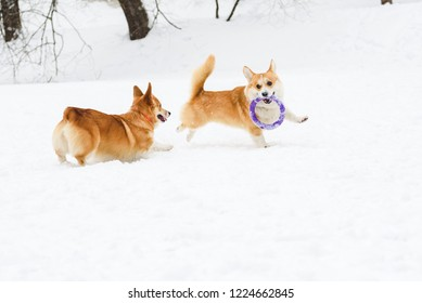 Two funny Welsh corgis playing on snow with puller toy