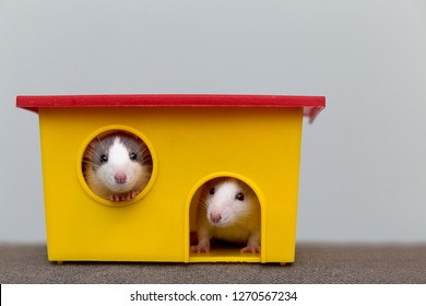 Two funny white and gray tame curious mouses hamsters with shiny eyes looking from bright yellow cage window. Keeping pet friends at home, care and love to animals concept.