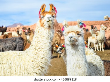 Two funny white lamas close-up on the field with other lamas grazing in Bolivia with soft focus