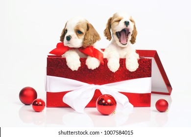 Two funny white and red American Cocker Spaniel puppies posing together in a big red gift box on a white background
