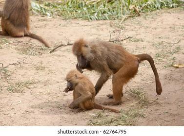 two  funny wild monkeys eating