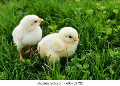Two fuzzy yellow baby chicks in the green grass