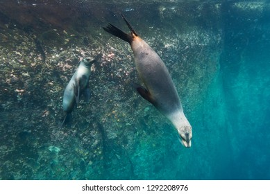 Two Galapagos sealions swim in the waters around the Galapagos islands