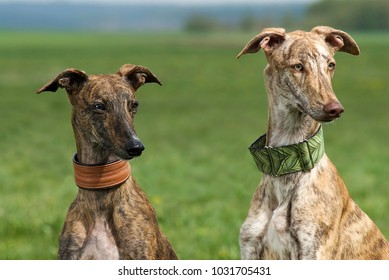 Two galgo espanol sitting in a meadow