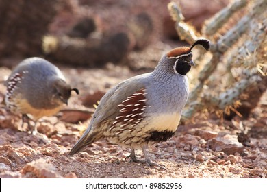 Two gambel's quail foraging in the desert