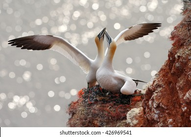 Two gannets. Bird landing on the nest with female sitting on the eggs. Wildlife scene from nature. Northern Gannets in love.