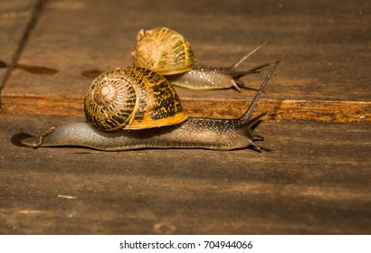Two Garden Snails (Cornu aspersum) or Mollusks on a wooden deckboard.