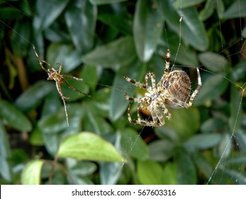 Two garden spiders fighting with webs