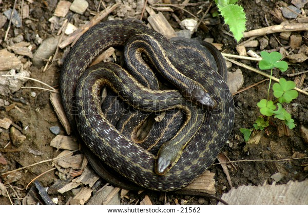 Two gardner snakes coiled up