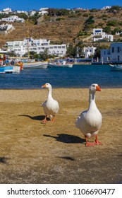 Two geese on the waterfront area before the City Hall of Mykonos, Greece. White geese on a sandy waterfront with blurred background view of Mykonos Town landscape.