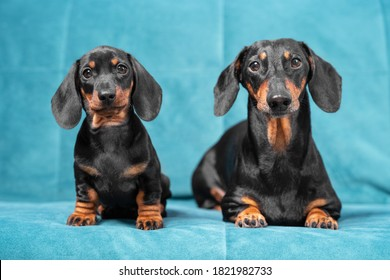 Two generations of dachshund dogs sit on blue sofa and look carefully ahead, front view. Obedient father and son or mother and daughter pose together for touching keepsake photo.