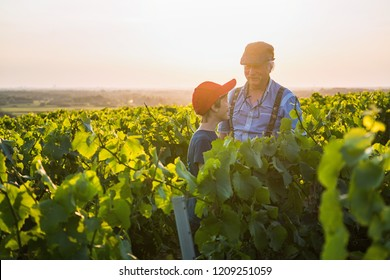 Two generations of French winegrowers in their vineyards at sunset. Grandfather teaches his grandson the job