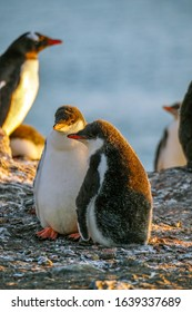 Two Gentoo Penguin (Pygoscelis papua) chicks keeping warm on Aitcho Islands in Antarctica.