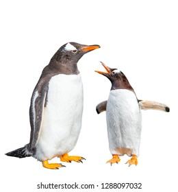 Two Gentoo penguins arguing isolated at white background, Beagle Channel in Patagonia near Ushuaia, Argentina