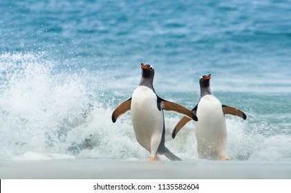 Two Gentoo penguins coming ashore from Atlantic ocean, Falkland islands.