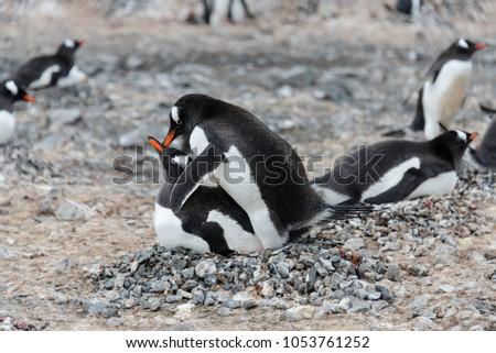 How do peguins have sex