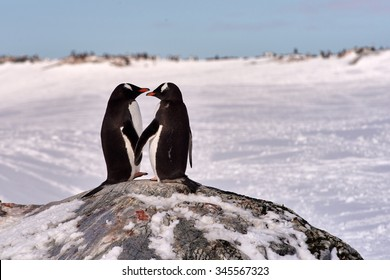 Two Gentoo Penguins (Pygoscelis Papua) in love in Antarctica standing on a rock with an icy white background looking at each other holding hands