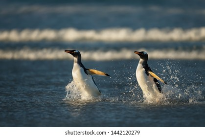 Two Gentoo penguins running in water, Falkland Islands.