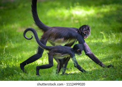 Two Geoffroy's Spider Monkeys walking together. This primate is also referred to as black-handed spider monkey or Ateles geoffroyi.