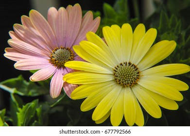 Two Gerber Daisy blossoms.
