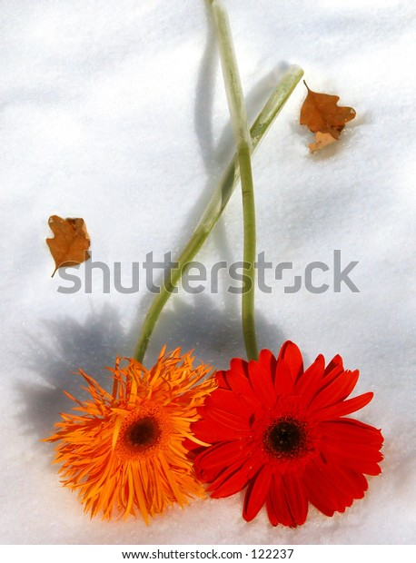 Two Gerber Daisy laying down on a blanket of snow, stems crossed