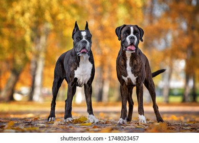 two german boxer dogs posing in the park