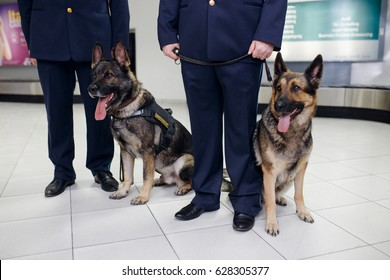 A two German shepherd dogs for detecting drugs sittings near customs officers inside airoport on rulling band luggage background. Horizontal view.