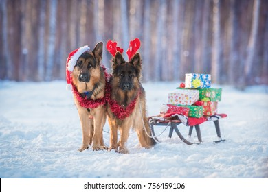 Two german shepherd dogs dressed like christmas reindeers, with sleigh and gifts