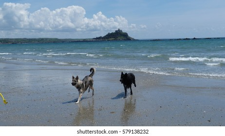 Two German Shepherd Dogs romping on a beach in Cornwall England