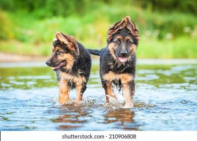 Two german shepherd puppies running in water
