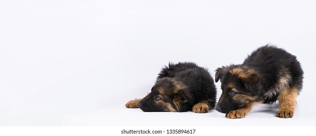 two german shepherd puppy posing on a white background