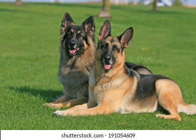 Two German Shepherds laying together side by side in the grass in the summer.