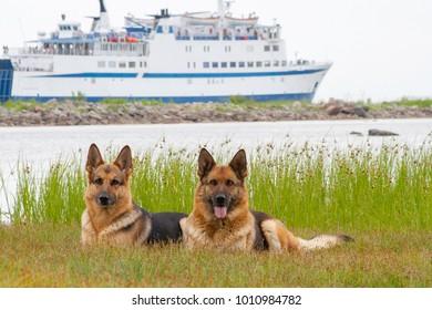 two German shepherds lying on a grass