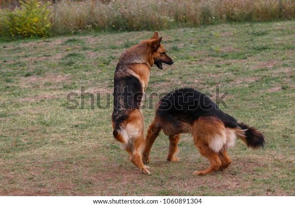 Two German shepherds are playing in the meadow.