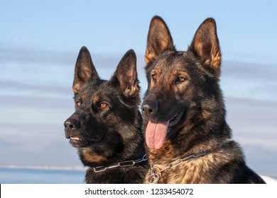 two German Shepherds sitting on the snow