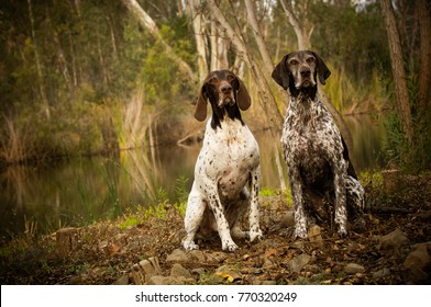 Two German Shorthair Pointer dogs sitting in nature by pond and forest