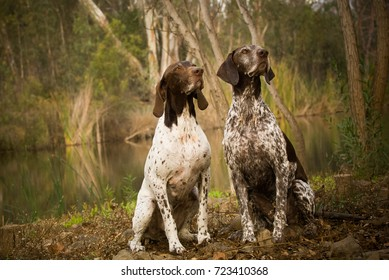 Two German Shorthaired Pointer dogs sitting together in nature by pond