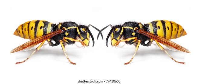 Two German wasps (Vespula germanica) on white background. Close up with shalow DOF.