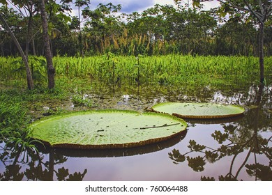 Two Giant Lilly Pads in Amazon Rain Forest.