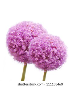 Two giant onion blossoms isolated against white background