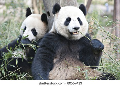 two Giant panda are eating bamboo leaves.