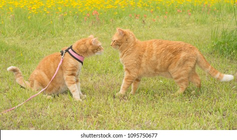 Two ginger tabbies nose to nose, one in harness, the other in a slightly threatening stance