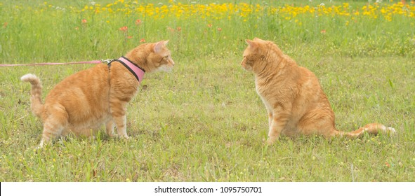 Two ginger tabby cats on a sunny spring meadow, one in harness and leash, the other free, curious about each other