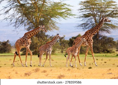 Two giraffe families - 2 mothers, 14 days old baby and 21 days old baby
